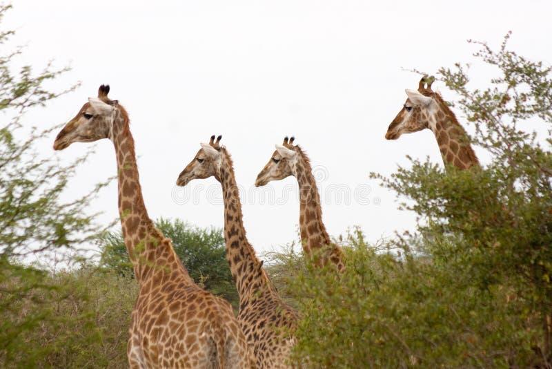 Girafas no parque de Kruger, ?frica do Sul fotografia de stock royalty free