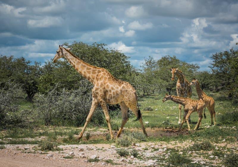 Girafas no parque nacional de Etosha, Namíbia fotos de stock royalty free