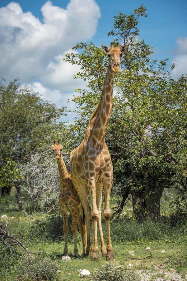 Girafas no parque nacional de Etosha, Namíbia imagem de stock