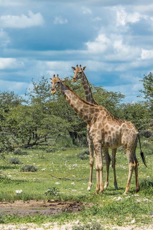 Girafas no parque nacional de Etosha, Namíbia fotografia de stock