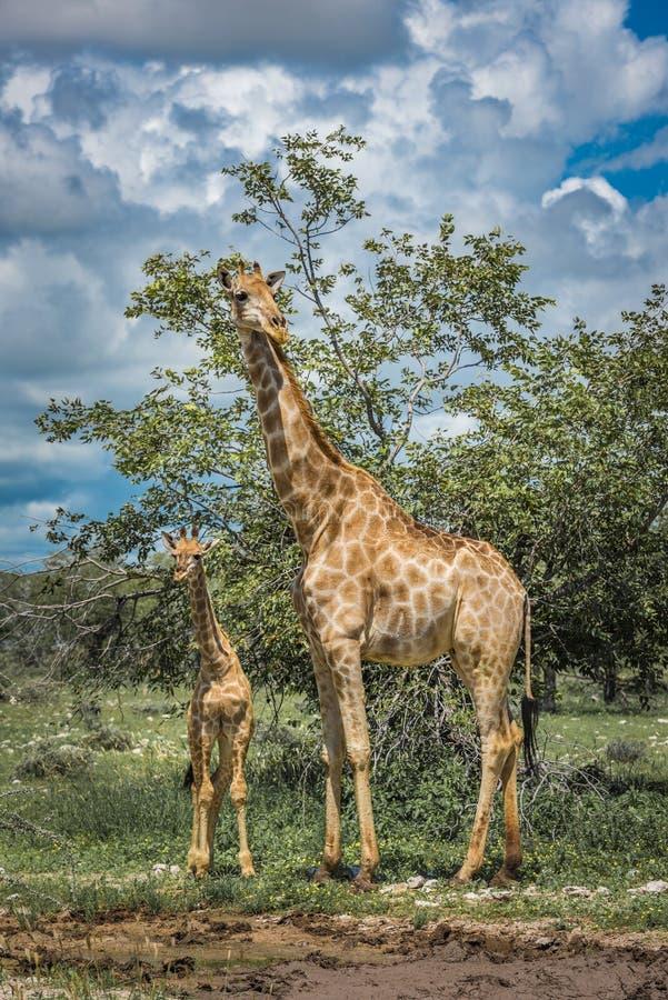 Girafas no parque nacional de Etosha, Nam?bia fotografia de stock