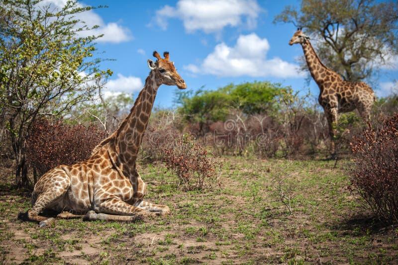 Girafas no savana em África do Sul fotografia de stock royalty free