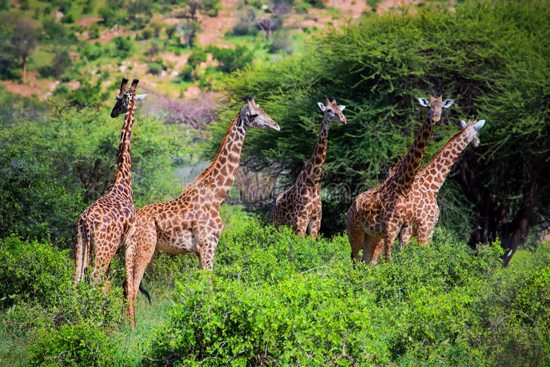 Girafas no savanna. Safari em Tsavo ocidental, Kenya, África foto de stock royalty free