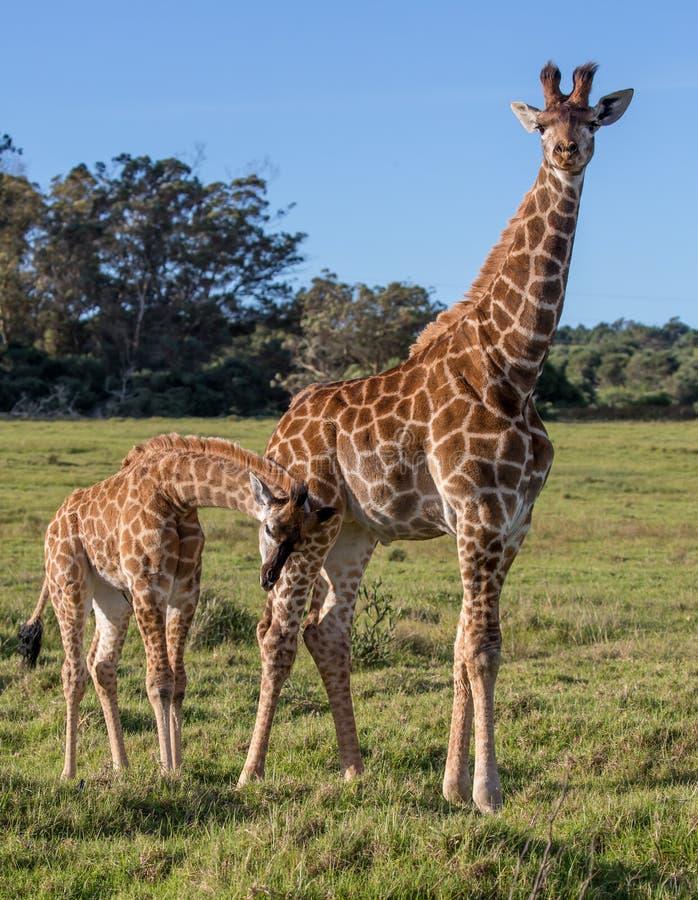Girafas novos e amigáveis em África do Sul fotos de stock
