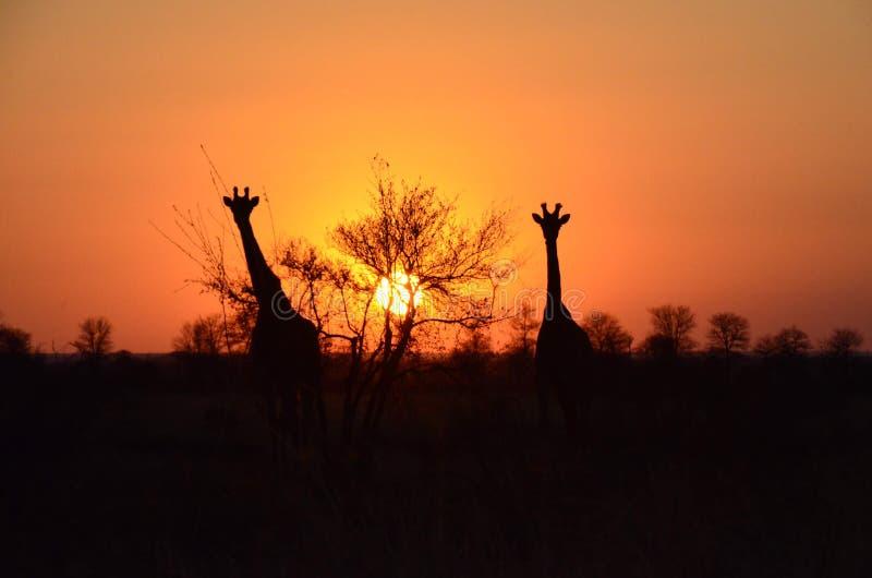Girafas pretos no céu alaranjado - África do Sul, parque nacional de Kruger imagem de stock royalty free