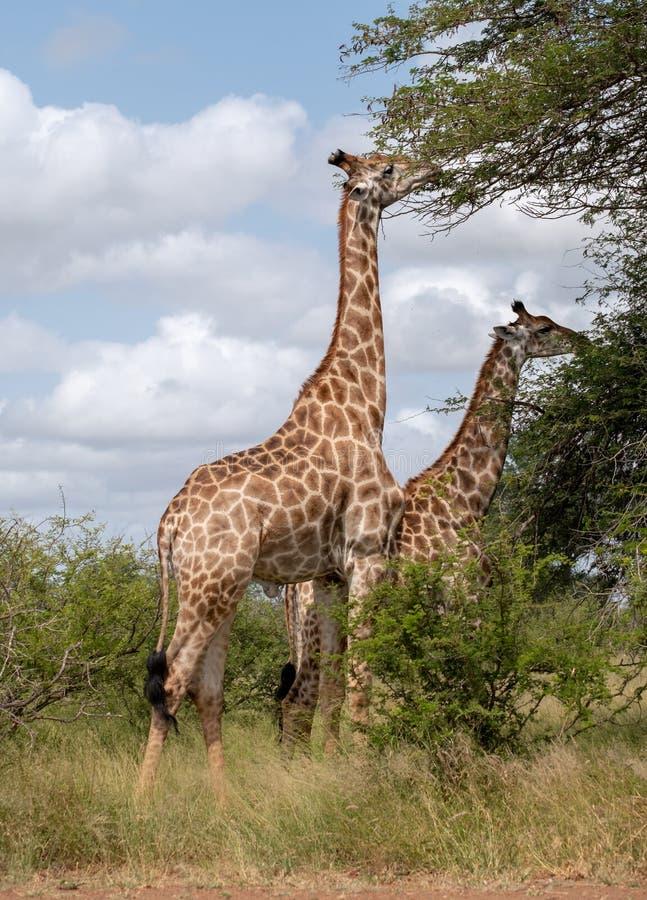 Girafas que comem das árvores no arbusto no parque nacional de Kruger, África do Sul fotografia de stock