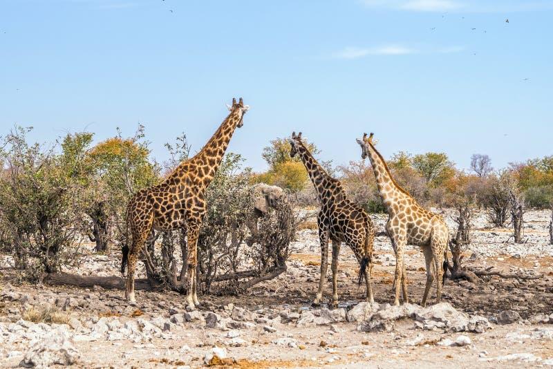 3 girafas que olham o elefante africano perto do waterhole de Kalkheuwel no parque nacional de Etosha foto de stock royalty free