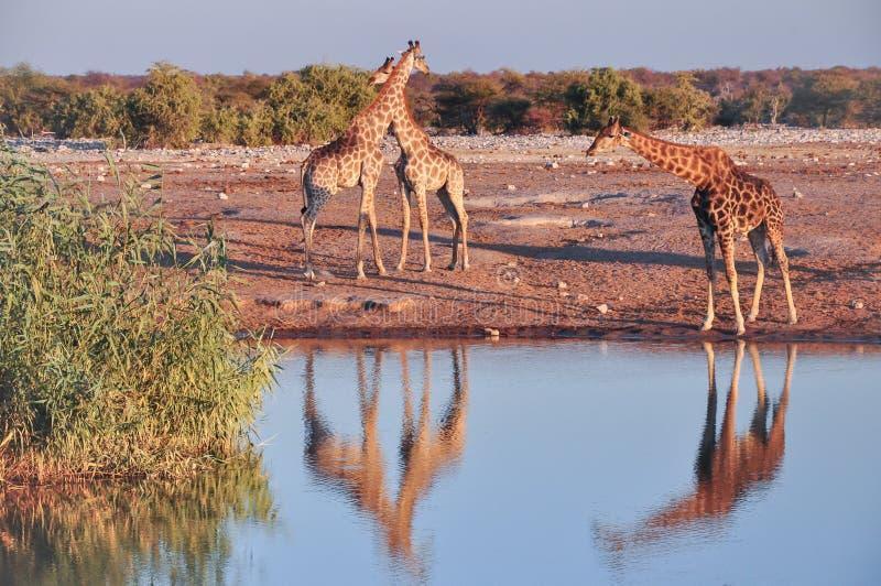 Girafas selvagens no parque nacional de Etosha em Namíbia imagem de stock royalty free