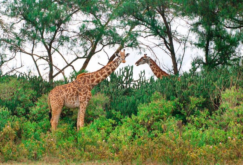Girafas selvagens no savana