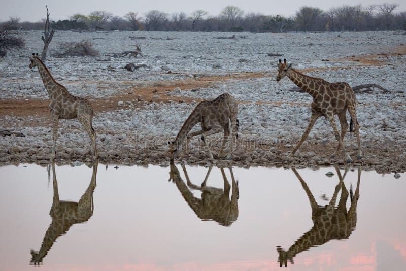 Girafbezinningen bij een waterhole royalty-vrije stock fotografie