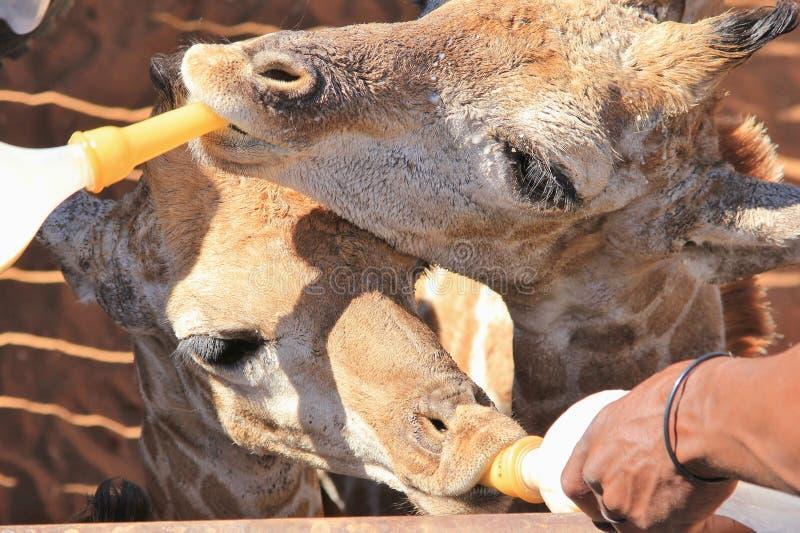 Girafe在非洲产犊饮用奶-孤立的野生生物抢救  图库摄影