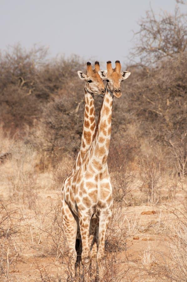 Girafe à deux têtes image libre de droits
