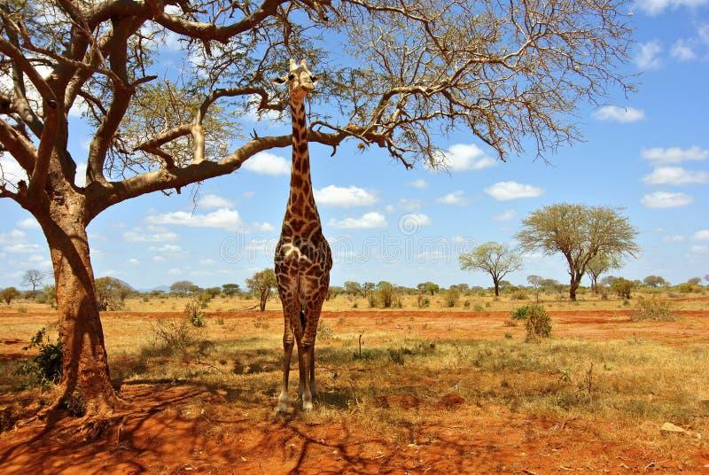 Girafe África imagem de stock