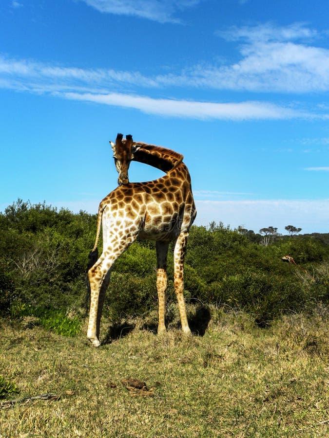 Girafe étirant son cou photographie stock libre de droits
