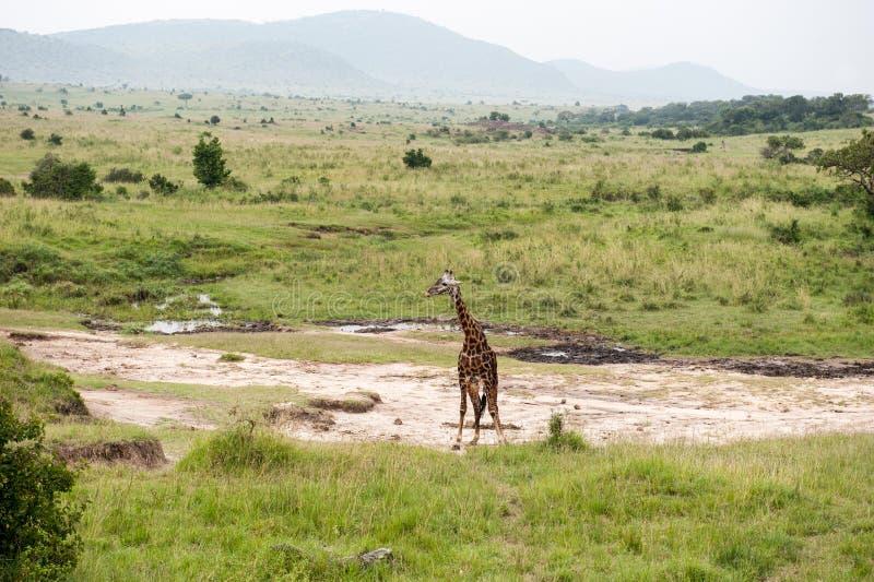 Download Girafe image stock. Image du vacances, nature, savannah - 45355579