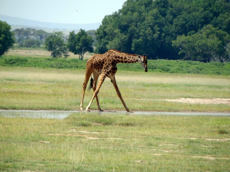 Girafe photos stock