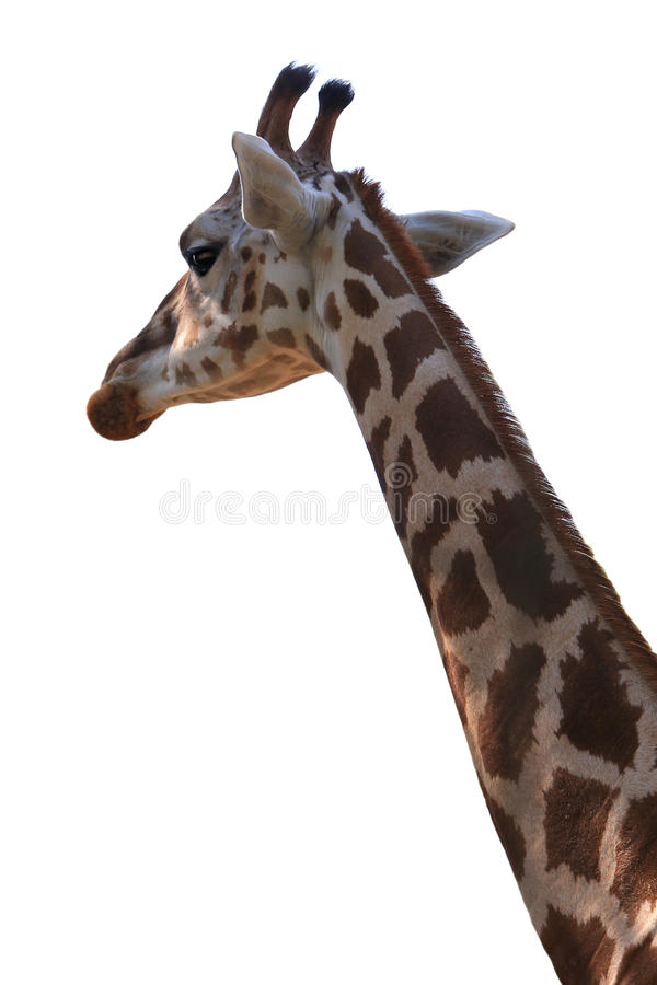 Download Girafe photo stock. Image du élégance, réticulé, giraffe - 56488536