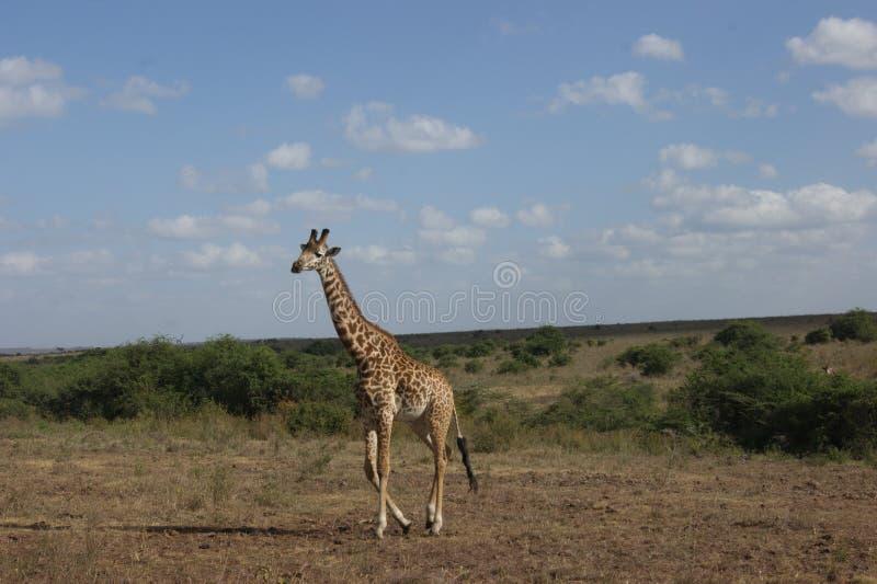 Girafe images stock