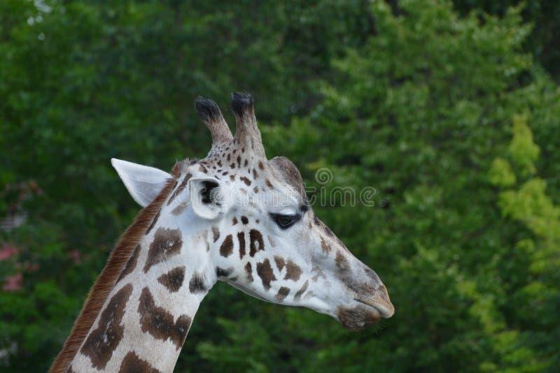 Girafe fotografie stock
