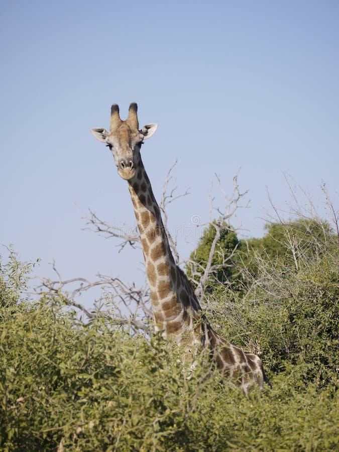Girafe angolaise photographie stock libre de droits