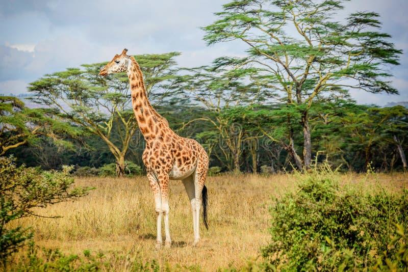 Girafe au Kenya images libres de droits