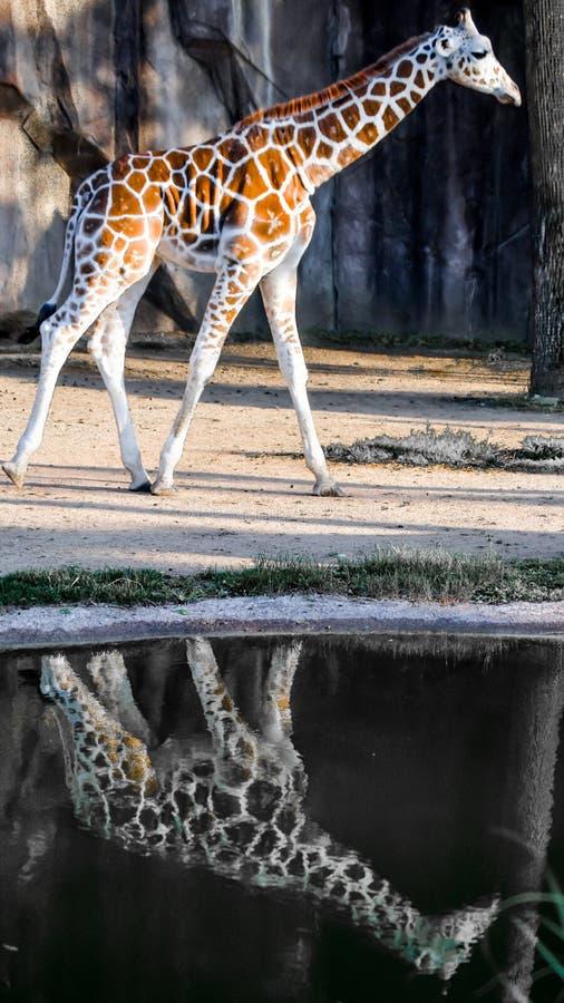 Girafe avec la réflexion dans le magma de pluie images stock