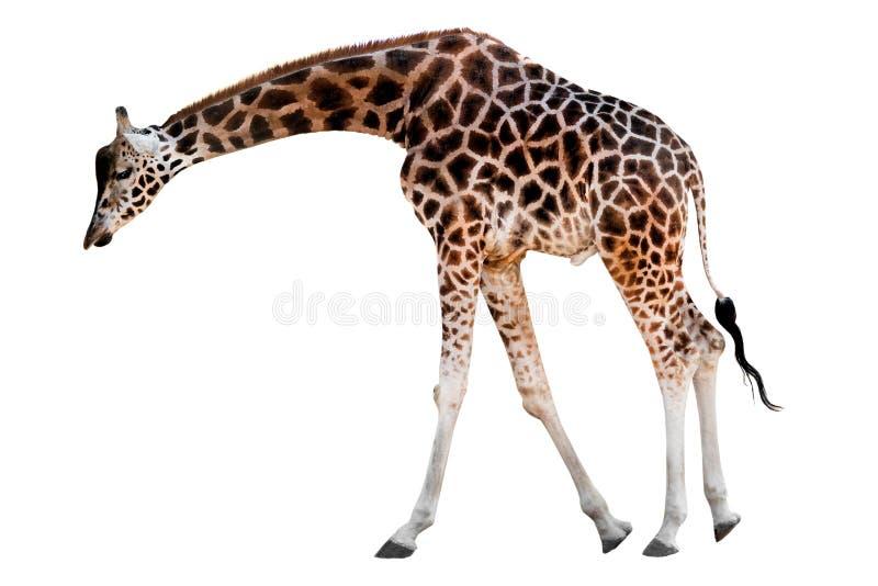 Girafe avec la tête vers le bas d'isolement image libre de droits