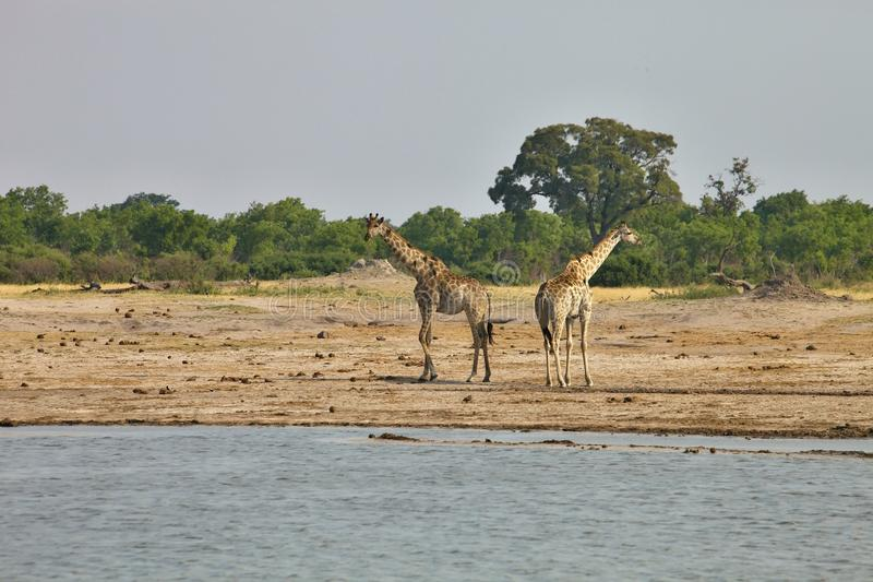 Girafe, camelopardalis del Giraffa, al waterhole Nyamandlovo nel parco nazionale di Hwange, lo Zimbabwe immagini stock libere da diritti