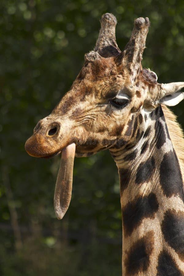 Girafe chez Dublin Zoo, Irlande photo stock