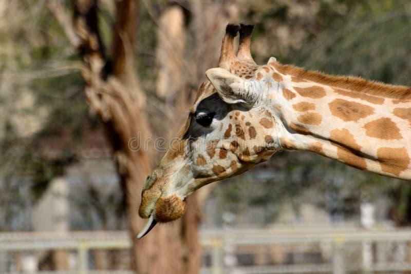 Girafe collant le tounge photos libres de droits
