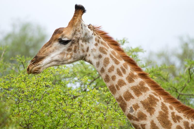 Girafe dans Bush en Afrique du Sud images libres de droits