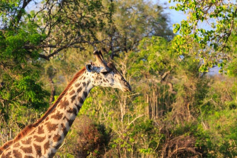 Girafe dans la fin dans le paysage africain image stock