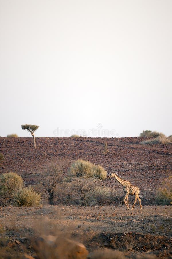 Girafe dans la plaine image stock