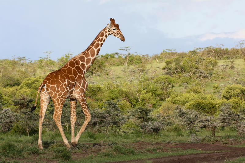 Girafe dans le buisson images stock