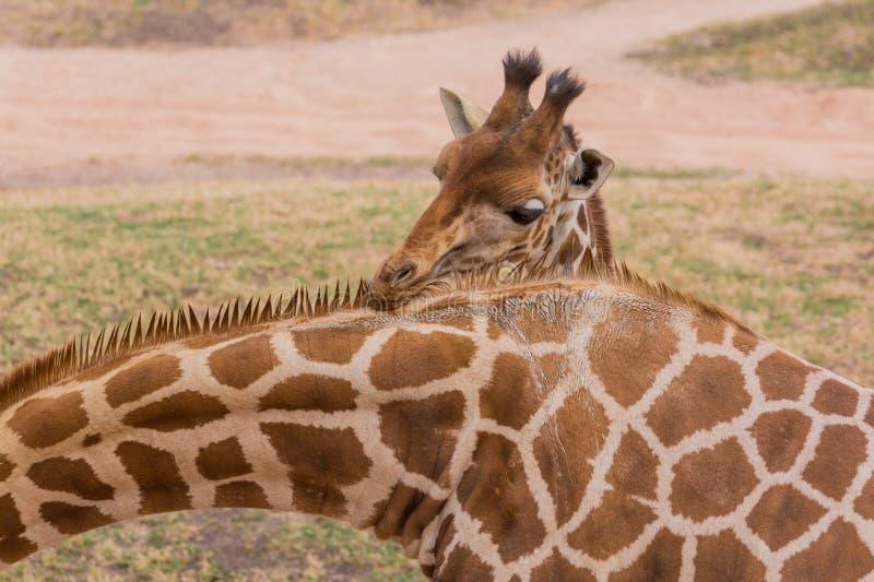 Girafe de bébé images stock