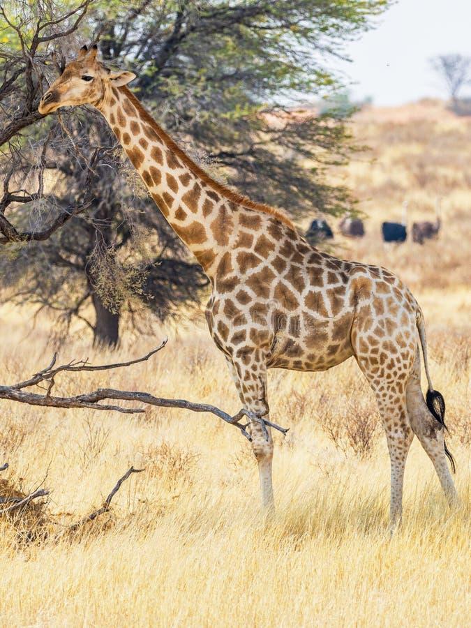 Girafe de Kalahari image stock