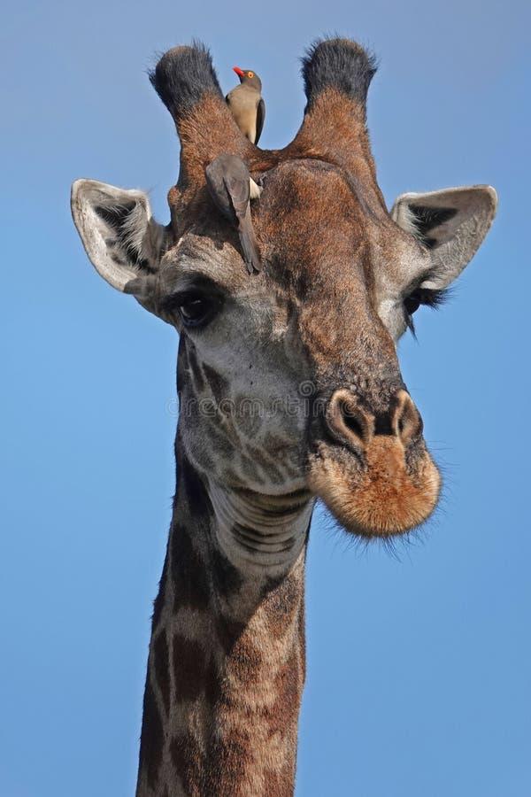 Girafe de Kruger image libre de droits