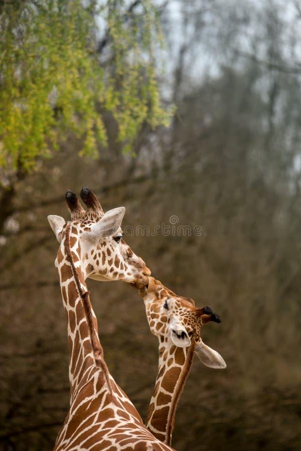 Girafe de mère et de bébé embrassant, foyer sélectif images stock