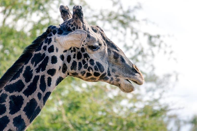 Girafe de masai au zoo de Phoenix photo libre de droits