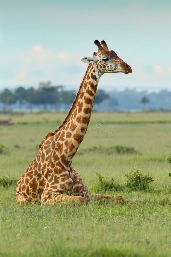 Girafe de masai se couchant image libre de droits