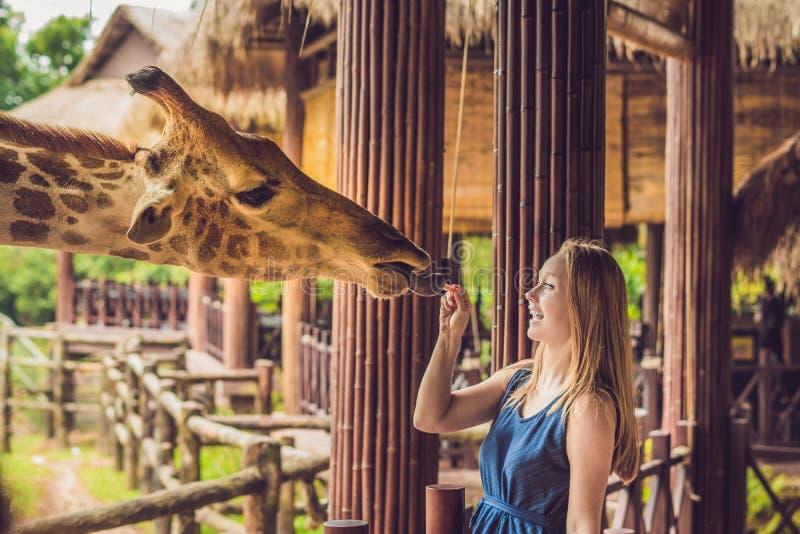 Girafe de observation et de alimentation de jeune femme heureuse dans le zoo Jeune femme heureuse ayant l'amusement avec le parc  image libre de droits