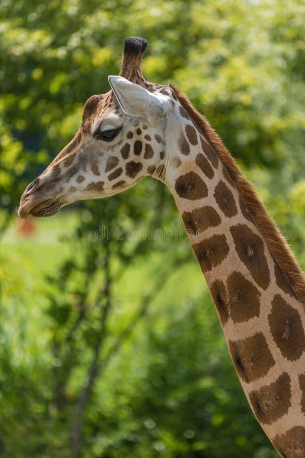 Girafe de Rothschild en détail photo libre de droits