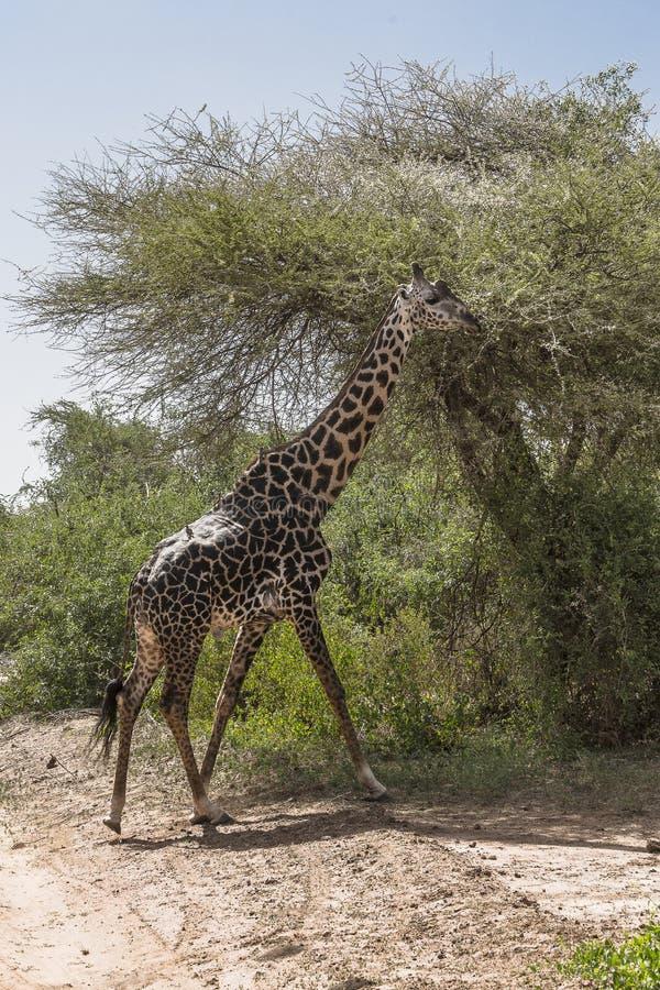 Girafe du nord images libres de droits