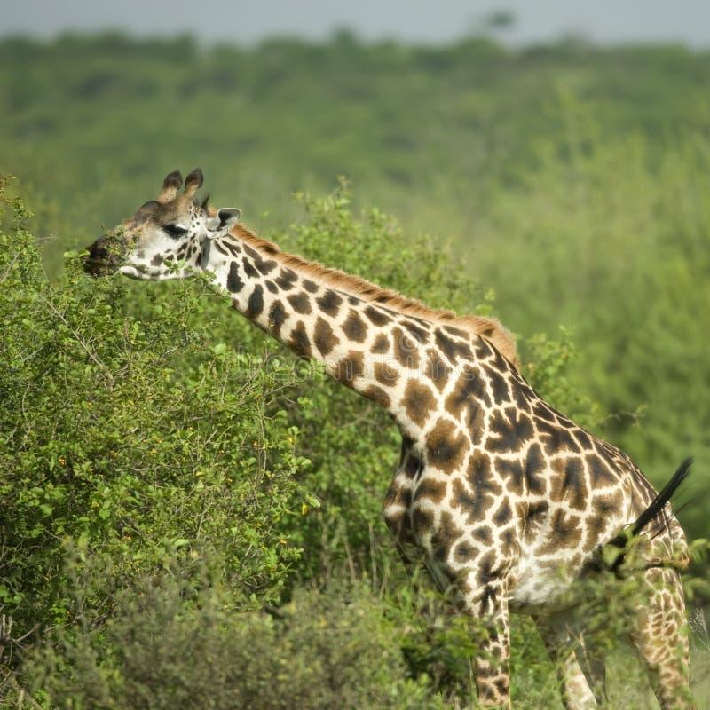 Download Girafe Eating In The Serengeti Reserve Stock Photo - Image of safari, nature: 7137614