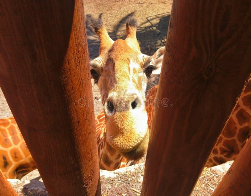 Girafe emprisonnée derrière la clôture photo libre de droits