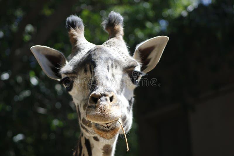 Girafe en parc images stock