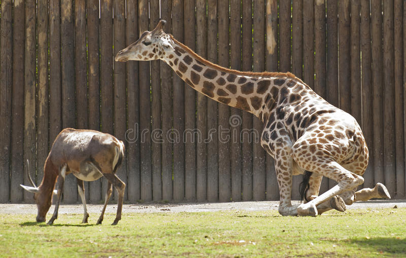 Girafe et blesbok photos stock