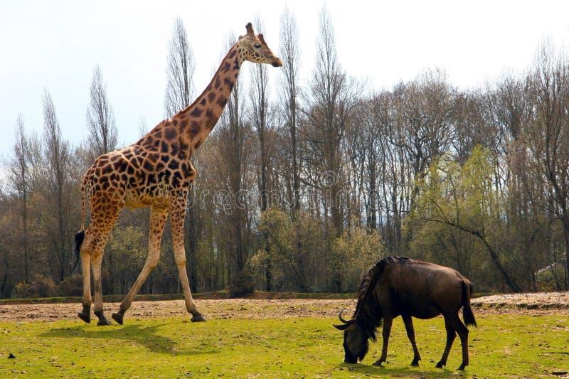 GIRAFE et BUFFLE photo libre de droits