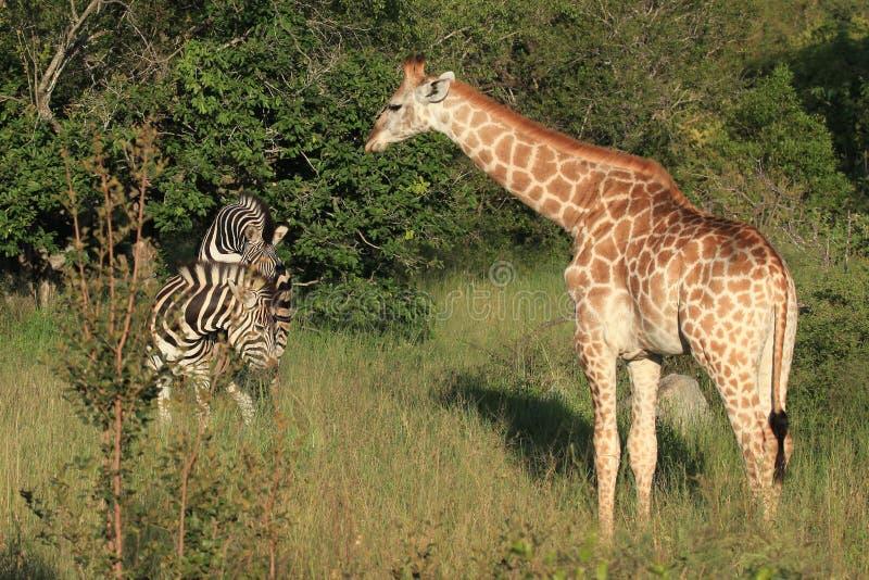Girafe et zèbres photographie stock libre de droits
