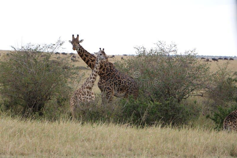 Girafe femelle et son veau dans le maasai sauvage Mara photographie stock libre de droits